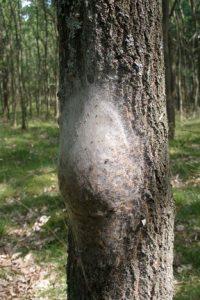 Oak Processionary Moth - The Blue Tree Company
