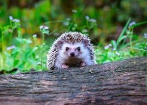 Hedgehogs-The-Blue-Tree-Company-Tree-Surgery-Hertfordshire